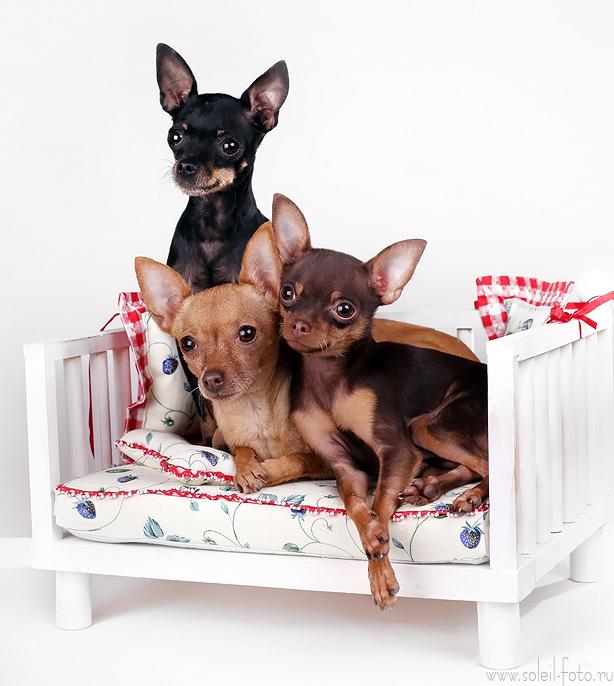 Собаки питомника Блуберри Найтс