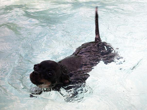Той терьер Найт плавает